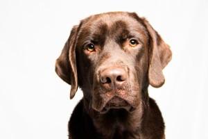 Labrador Service Dog