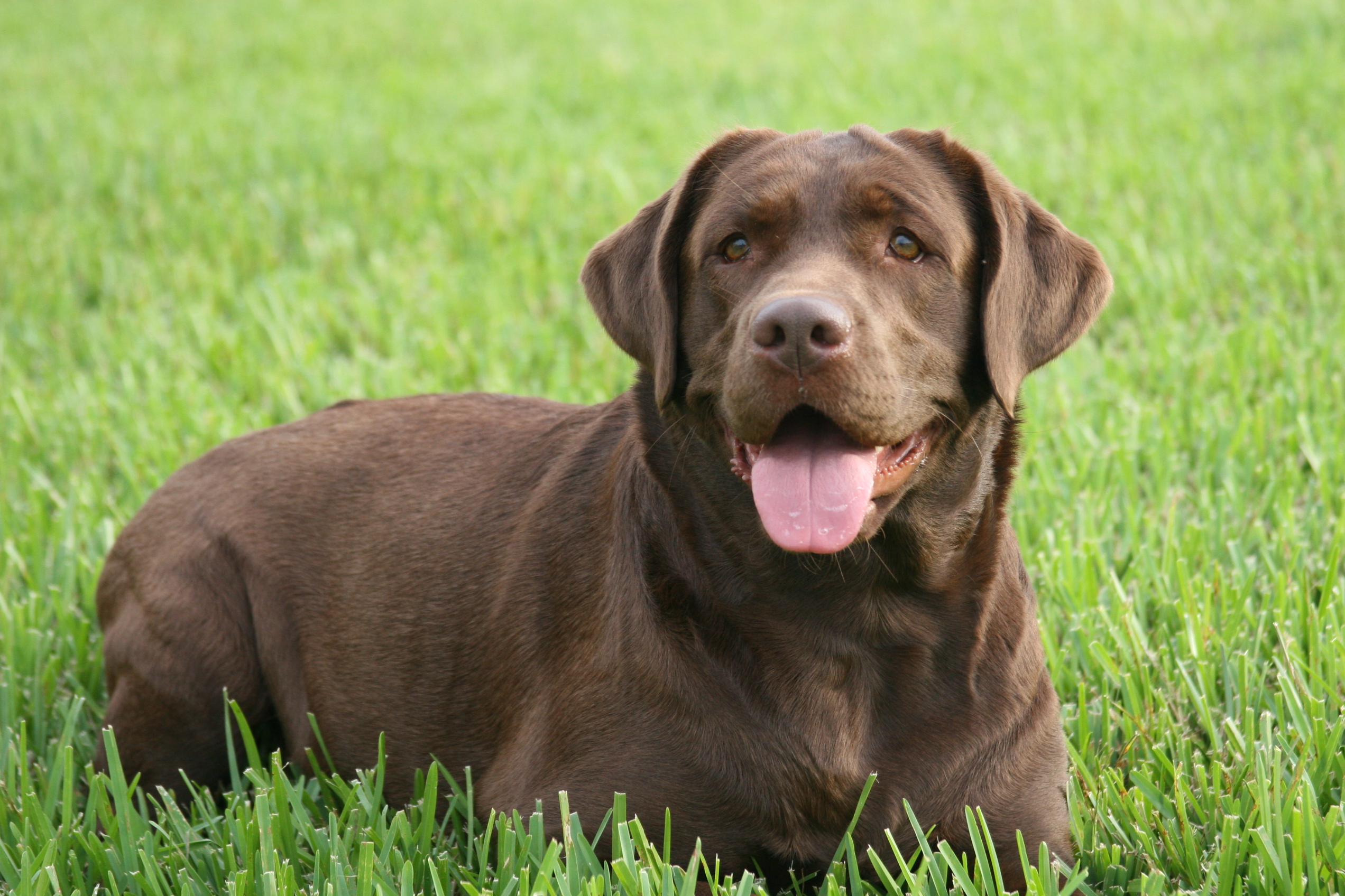 Adult chocolate labs