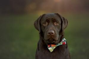 Labrador Bow Tie