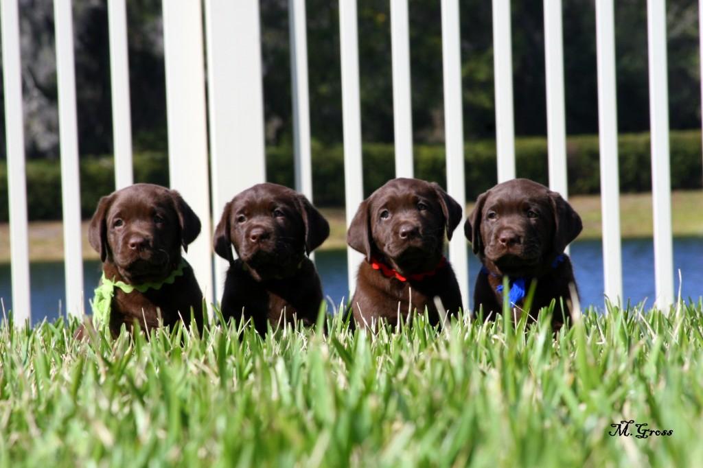 TruPride Labradors - Florida breeder of quality chocolate