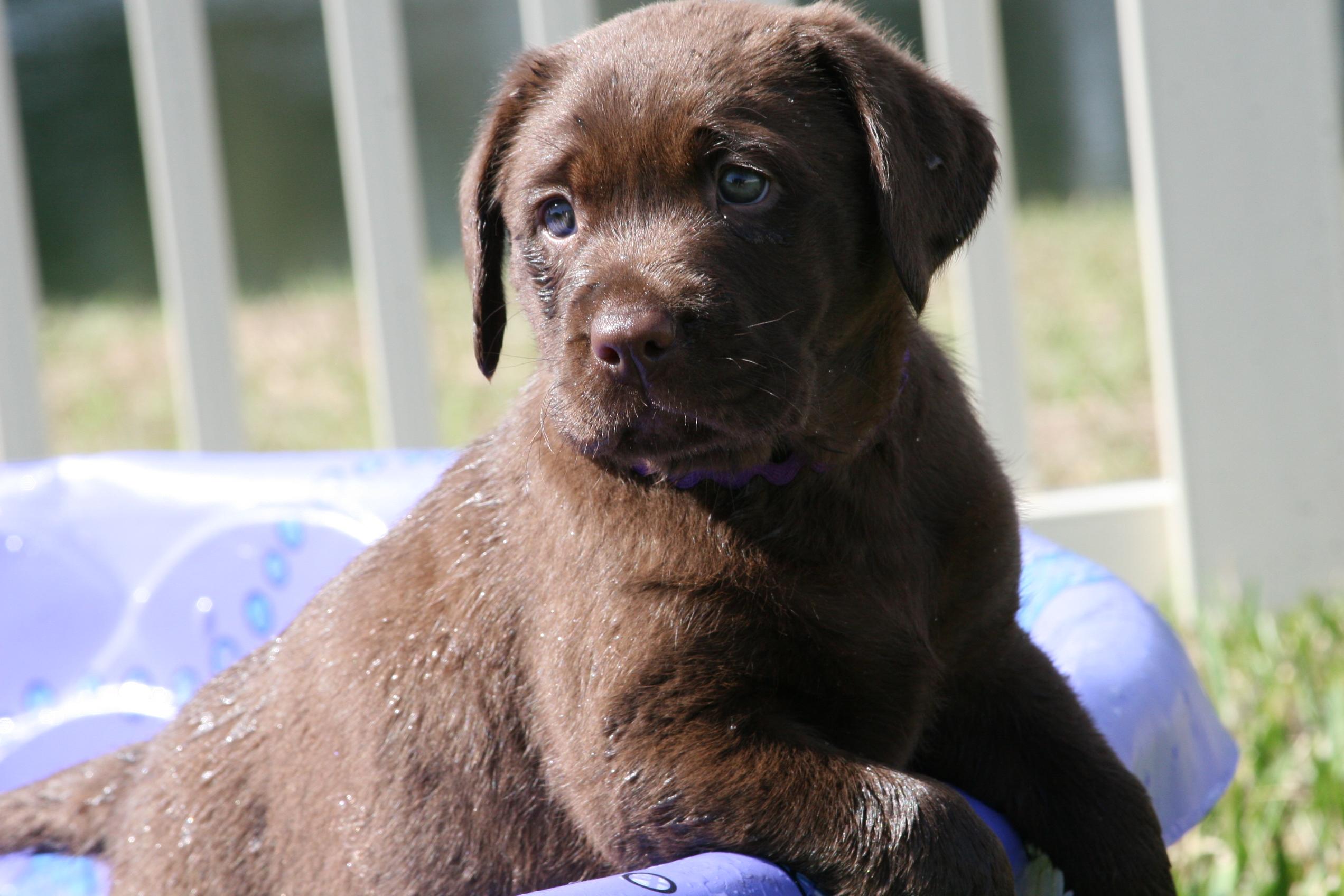 Trupride Labradors Florida Breeder Of Quality Chocolate Labrador